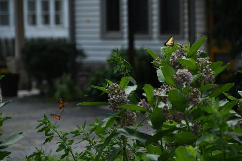 Buterflies%20with%20Milkweed