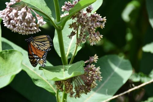 Monarch%20with%20Milkweed%20plants